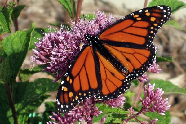 Joe-Pye weed attracts a monarch butterfly. (Courtesy Jan Newton/MCT)