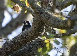 A woodpecker lands on an oak tree limb in Rossmoor on November 13, 2008. Some residents of Rossmoor have been having the eaves of their homes destroyed by woodpeckers who are storing their acorns in the holes they make. Rossmoor is considering shooting some of the birds.