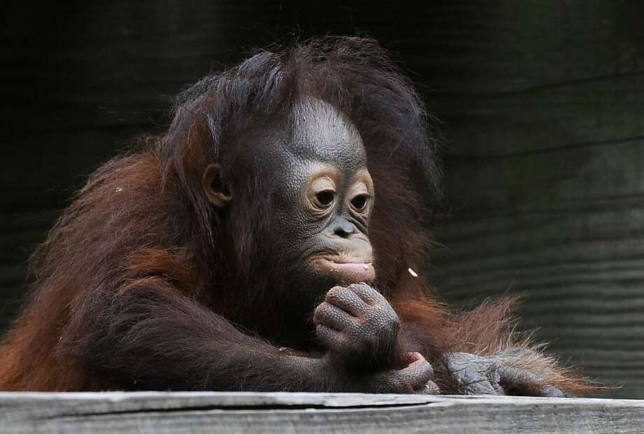 Orangutan infant Aurora, 1, seems to be contemplating life after eating breakfast at the Houston Zoo Thursday, March 29, 2012, in Houston. Born at the zoo in March 2011, Aurora was abandoned by her mother and hand raised by volunteers for nine months before being adopted by a female orangutan, Cheyenne. (AP Photo/Pat Sullivan) Photo: Pat Sullivan, Associated Press