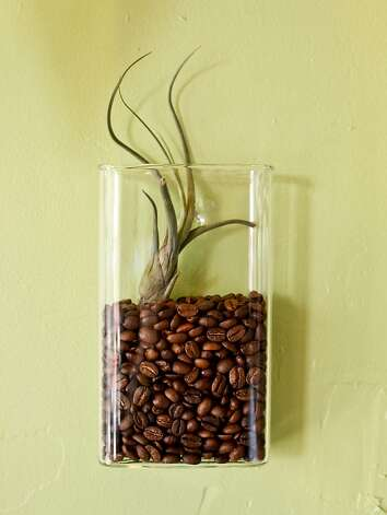 An air plant sits in a container of coffee beans at Goody Goodie Cream and Sugar on Friday, March 23, 2012 in San Francisco, Calif. Photo: Russell Yip, The Chronicle