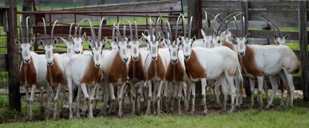 Scimitar-horned oryxes huddle in a pen at a Huntsville auction business. A new federal law is placing them on the endangered list.