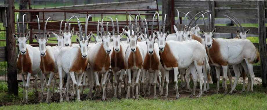 Scimitar-horned oryxes huddle in a pen at a Huntsville auction business. A new federal law is placing them on the endangered list. Photo: Karen Warren / © 2012  Houston Chronicle