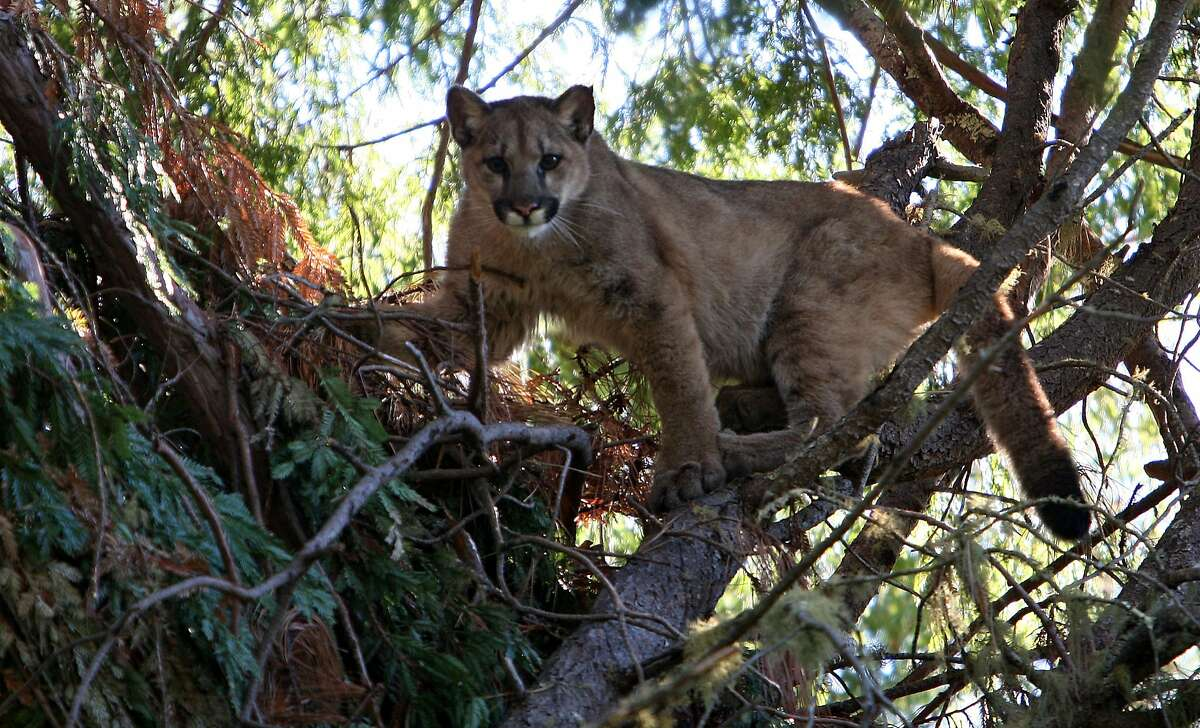 A young male mountain lion, around 9-12 months old, 30 feet above the ground seeks safety in the trees near Santa Cruz, Calif on Thursday Jan. 1, 2009.