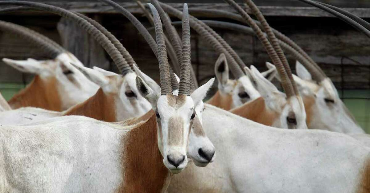 Scimitar-horned oryxes in a pen at Tommy Oates' livestock auction business in Huntsville.