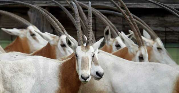 Scimitar-horned oryxes in a pen at Tommy Oates' livestock auction business in Huntsville. Photo: Karen Warren, Houston Chronicle / © 2012  Houston Chronicle