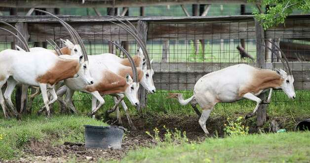 Scimitar-horned oryxes stand in a pen at Tommy Oates' livestock auction business, Wednesday, March 28, 2012, in Huntsville, where he deals in exotics. A new federal law placing three endangered African antelope under protection of the Endangered Species Act went into effect Wednesday, April 4, 2012, which means Texas exotic animal ranchers are shooting and selling off their herds before they become worthless. Texas has the largest herds of these three antelope, which are either extinct or nearing it in their natural habitat, in the world. They are seeking a court injunction against the rule saying that if it goes into effect, these animals will in fact become extinct. Photo: Karen Warren, Houston Chronicle / © 2012  Houston Chronicle