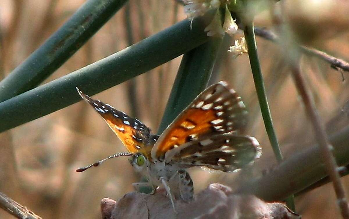 A Lange's metalmark butterfly is seen at the Antioch Dunes National Wildlife Refuge last year.