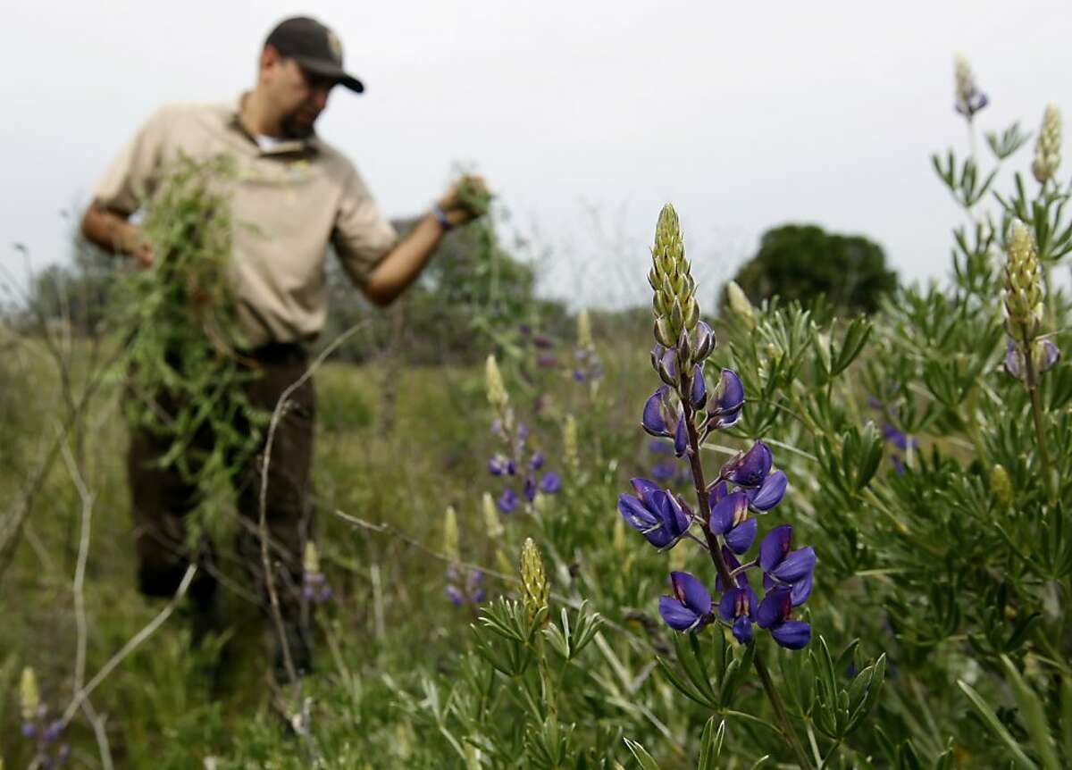Louis Terrazas of the U.S. Fish and Wildlife Service removes non-native growth behind a flowering silver bush lupine at the Antioch Dunes National Wildlife Refuge in Antioch, Calif. on Thursday, March 29, 2012. Non-native plants are threatening the endangered Lange's metalmark butterfly, which come to life in early summer.
