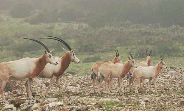 The number of scimitar-horned oryx at the Natural Bridge Wildlife Ranch, seen in March 2003, may outnumber those in the wild. A new federal law placing scimitar-horned oryx and two other endangered African antelope under protection of the Endangered Species Act went into effect Wednesday, April 4, 2012. Photo: ROBERT MCLEROY, Express-News File Photo / SAN ANTONIO EXPRESS-NEWS