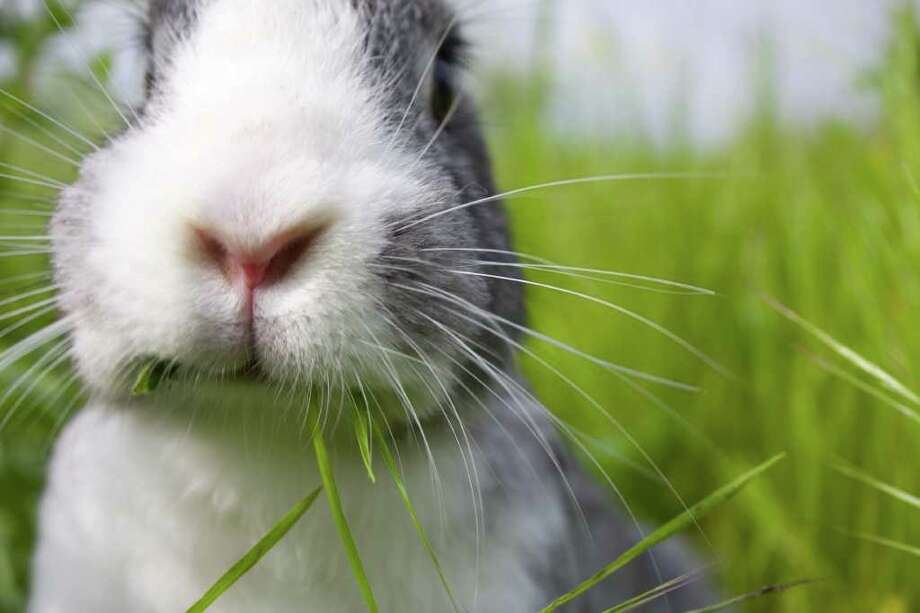 Animal advocates warn that bunnies are a long-time commitment, not just a cute Easter gift. Photo: Contributed Photo