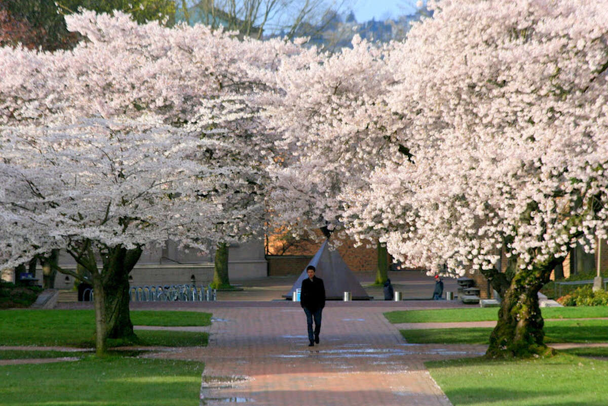 Yoshino cherry trees blossom in the Quad at the University of Washington in Seattle. The trees are in full bloom and if you want to go see them you probably need to do it soon.