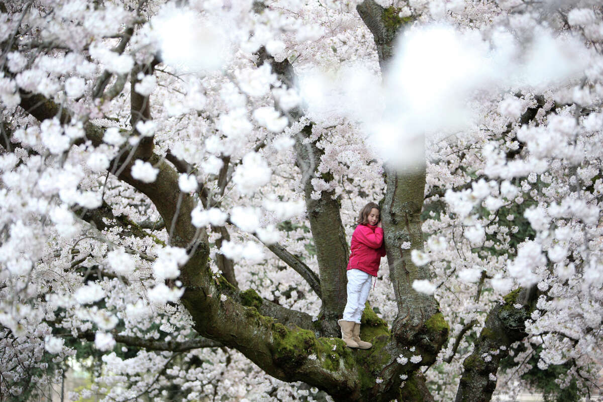 Nya Uberman-Gillon, 9, of Olympia climbs a cherry tree as the Yoshino cherry trees infuse the University of Washington campus with their annual display of color. The trees are in full bloom and if you want to go see them you probably need to do it soon.