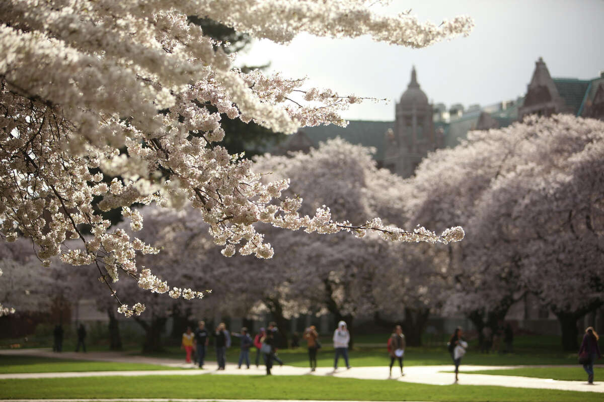 Yoshino cherry trees blossom at the University of Washington in Seattle. The trees are in full bloom and if you want to go see them you probably need to do it soon.