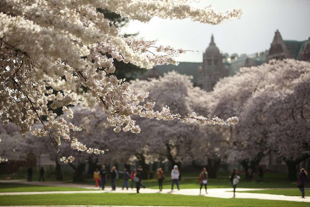 Yoshino cherry trees blossom at the University of Washington in Seattle.
