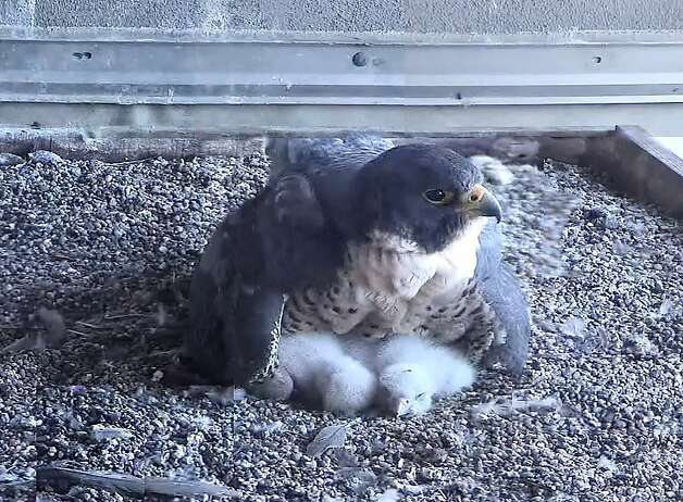 In this composite web camera image, a peregrine falcon mother, Diamond Lil, warms her newly hatched chicks on a ledge on the 33rd floor of a building in San FranciscoÕs Financial District. The four chicks hatched Friday and Saturday and will fly in about 40 days. Photo: Glenn Nevill, UC Santa Cruz Predatory Bird