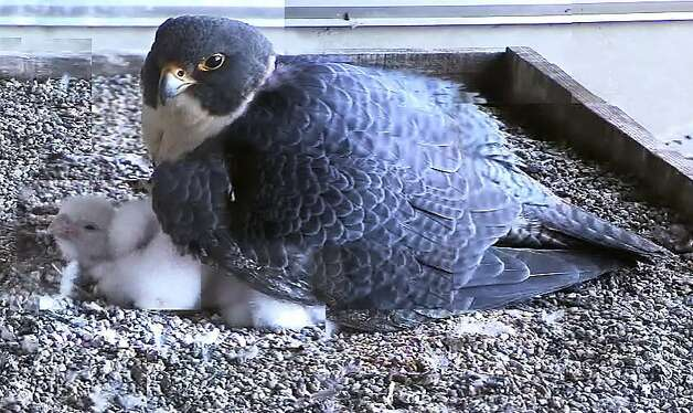 In this composite web camera image, a peregrine falcon father, Dapper Dan, warms his newly hatched chicks on a ledge on the 33rd floor of a building in San Francisco's Financial District. The four chicks hatched Friday and Saturday and will fly in about 40 days. Dapper Dan and his mate, Diamond Lil, take turns keeping the chicks warm. Photo: Glenn Nevill, UC Santa Cruz Predatory Bird
