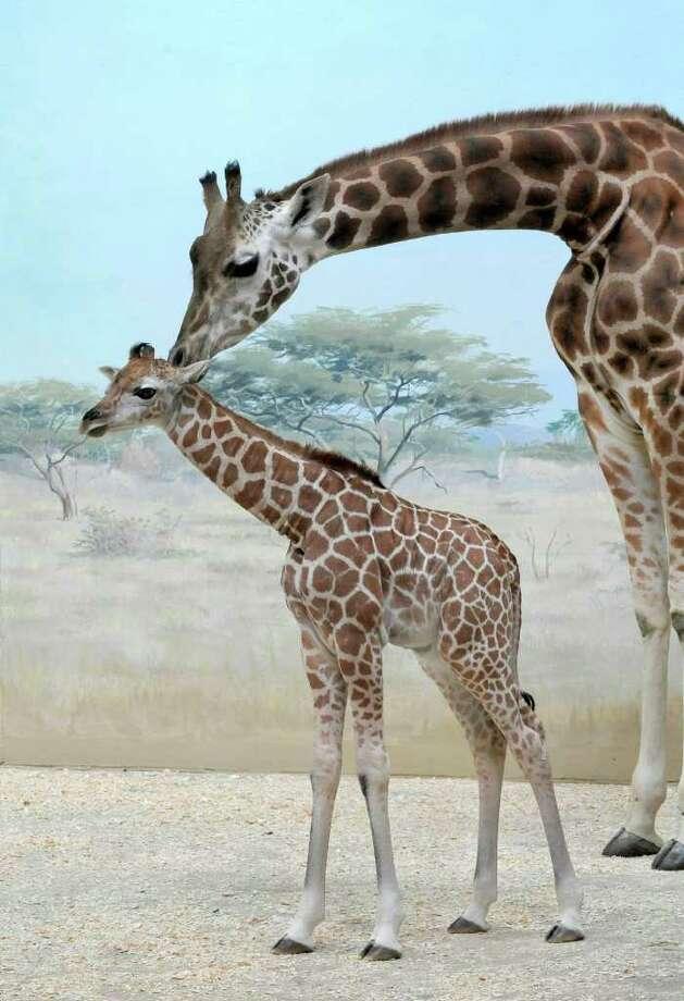 Baringo giraffes Photo: Julie Larsen Maher / Wildlife Conservation Society