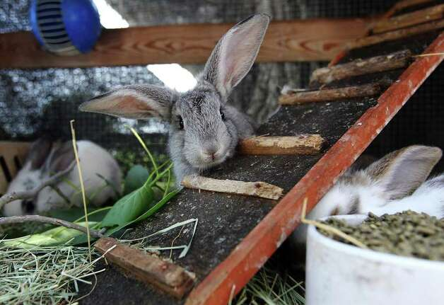 A month-old rabbit peers over wooden steps as it joins two other young rabbits in quarantine which was recently received at the Retired Rabbit Sanctuary. Cheyenne Hendricks, 16, and her parents run the sanctuary in Eastern Bexar County. Since 1998, the Hendricks family took in rabbits that were discarded typically around Easter by people who underestimated the amount of care needed for rabbits. The sanctuary now has about 80 rabbits in enclosures and are caring for the fuzzy creatures on a daily basis. The sanctuary is funded by the Hendricks family but they won't rule out donations. On her spare time, Cheyenne, helps to educate the public on the caring for rabbits at the Humane Society in San Antonio. Kin Man Hui/Express-News. Photo: Kin Man Hui, San Antonio Express-News / ©2012 San Antonio Express-News