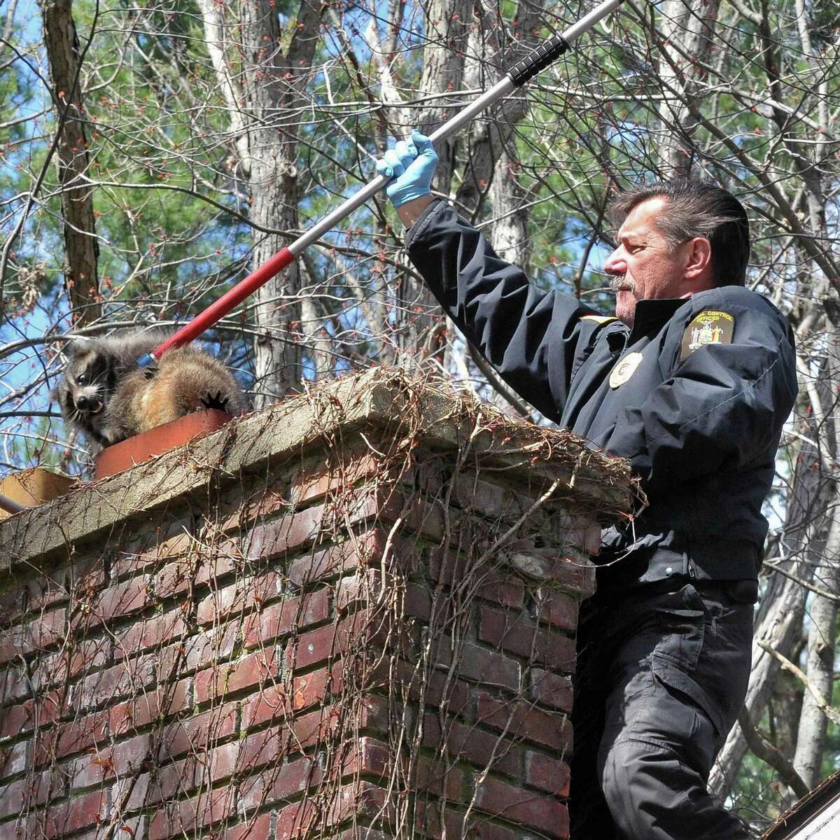 Clifton Park animal control officer Bill Lehman removes a suspected rabid raccoon from the chimney of a Clifton Park home Monday April 2, 2012. Originally suspected of disease the raccoon turned out to just be pregnant and was release. (John Carl D'Annibale / Times Union)