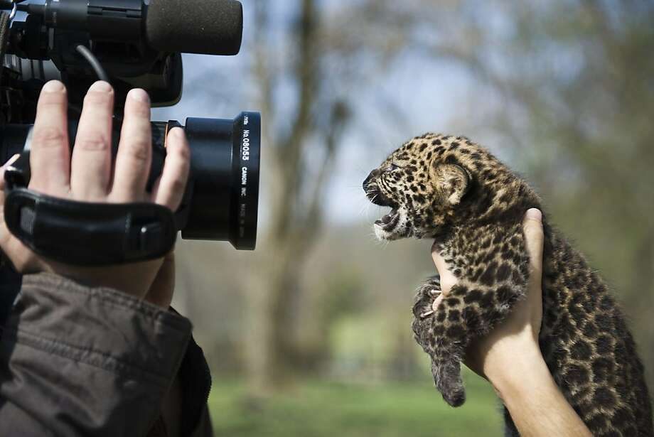 A cameraman records four week old leopard cub Imoo at Nyiregyhaza Animal Park in Nyiregyhaza, 227 kms northeast of Budapest, Hungary, Thursday, April 5, 2012. The cub's name means darkness in the Swahili language. Imoo's parents have lived in the zoo since 2007. (AP Photo/MTI, Attila Balazs) Photo: Attila Balazs, Associated Press