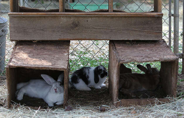 A trio of rabbits take shelter from the afternoon sun at the Retired Rabbit Sanctuary on Tuesday, Apr. 3, 2012. Cheyenne Hendricks, 16, and her parents run the sanctuary in Eastern Bexar County. Since 1998, the Hendricks family took in rabbits that were discarded typically around Easter by people who underestimated the amount of care needed for rabbits. The sanctuary now has about 80 rabbits in enclosures and are caring for the fuzzy creatures on a daily basis. The sanctuary is funded by the Hendricks family but they won't rule out donations. On her spare time, Cheyenne, helps to educate the public on the caring for rabbits at the Humane Society in San Antonio. Kin Man Hui/Express-News. Photo: Kin Man Hui, San Antonio Express-News / ©2012 San Antonio Express-News