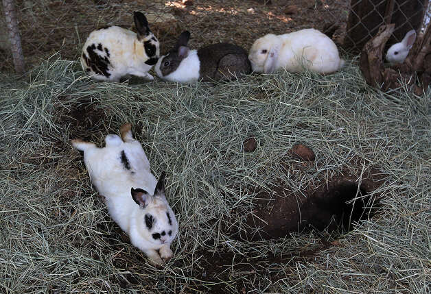 Several rabbits relax in one of the enclosures at the Retired Rabbit Sanctuary on Tuesday, Apr. 3, 2012. When the rabbits are not resting, one of the activities they do are to burrow holes. Cheyenne Hendricks, 16, and her parents run the Retired Rabbit Sanctuary in Eastern Bexar County. Since 1998, the Hendricks family took in rabbits that were discarded typically around Easter by people who underestimated the amount of care needed for rabbits. The sanctuary now has about 80 rabbits in enclosures and are caring for the fuzzy creatures on a daily basis. The sanctuary is funded by the Hendricks family but they won't rule out donations. On her spare time, Cheyenne, helps to educate the public on the caring for rabbits at the Humane Society in San Antonio. Kin Man Hui/Express-News. Photo: Kin Man Hui, San Antonio Express-News / ©2012 San Antonio Express-News