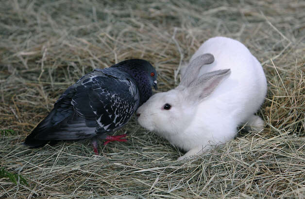 A pigeon and a rabbit playfully square off in an enclosure at the Retired Rabbit Sanctuary on Tuesday, Apr. 3, 2012. Cheyenne Hendricks, 16, and her parents run the sanctuary in Eastern Bexar County. Since 1998, the Hendricks family took in rabbits that were discarded typically around Easter by people who underestimated the amount of care needed for rabbits. The sanctuary now has about 80 rabbits in enclosures and are caring for the fuzzy creatures on a daily basis. The sanctuary is funded by the Hendricks family but they won't rule out donations. On her spare time, Cheyenne, helps to educate the public on the caring for rabbits at the Humane Society in San Antonio. Kin Man Hui/Express-News. Photo: Kin Man Hui, San Antonio Express-News / ©2012 San Antonio Express-News