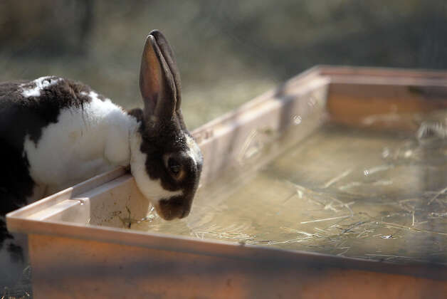 A rabbit takes a drink of water at the Retired Rabbit Sanctuary on Tuesday, Apr. 3, 2012. Cheyenne Hendricks, 16, and her parents run the sanctuary in Eastern Bexar County. Since 1998, the Hendricks family took in rabbits that were discarded typically around Easter by people who underestimated the amount of care needed for rabbits. The sanctuary now has about 80 rabbits in enclosures and are caring for the fuzzy creatures on a daily basis. The sanctuary is funded by the Hendricks family but they won't rule out donations. On her spare time, Cheyenne, helps to educate the public on the caring for rabbits at the Humane Society in San Antonio. Kin Man Hui/Express-News. Photo: Kin Man Hui, San Antonio Express-News / ©2012 San Antonio Express-News