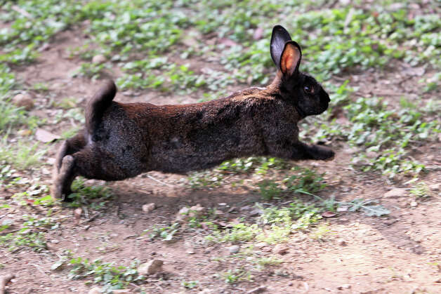 A rabbit that once lived in an enclosure now runs free at the Retired Rabbit Sanctuary on Tuesday, Apr. 3, 2012. Cheyenne Hendricks, 16, and her parents run the sanctuary in Eastern Bexar County. Since 1998, the Hendricks family took in rabbits that were discarded typically around Easter by people who underestimated the amount of care needed for rabbits. The sanctuary now has about 80 rabbits in enclosures and are caring for the fuzzy creatures on a daily basis. The sanctuary is funded by the Hendricks family but they won't rule out donations. On her spare time, Cheyenne, helps to educate the public on the caring for rabbits at the Humane Society in San Antonio. Kin Man Hui/Express-News. Photo: Kin Man Hui, San Antonio Express-News / ©2012 San Antonio Express-News