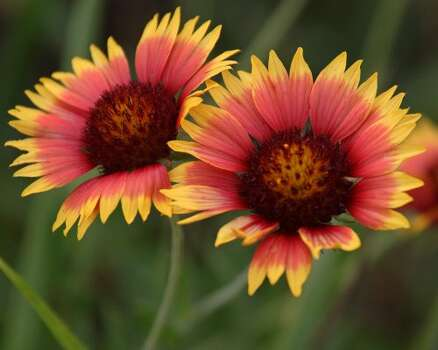 Wildflowers Indian blanket