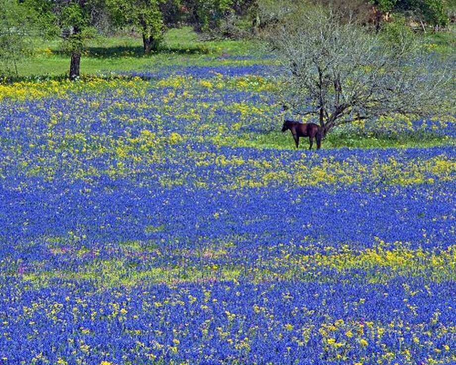 Wildflower enthusiast Rich Olivieri, editor of WildflowerHaven.com, captured a horse in a field of bluebonnets at Texas 16 and Jett Road, about 10 miles north of Poteet. (WildflowerHaven.com)