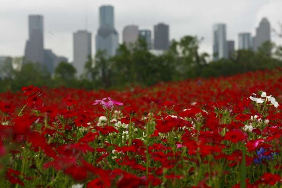 Wild flowers at Memorial Drive and Waugh Thursday, March 26, 2009, in Houston. ( Michael Paulsen / Chronicle ) (Chronicle)