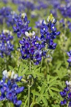 Bluebonnets shown Friday, April 1, 2011, in Chappell Hill.  ( Melissa Phillip / Houston Chronicle ) (Houston Chronicle)