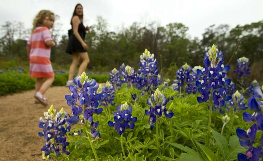 A small bloom of bluebonnets are seen along the south meadow trail at the Houston Arboretum and Nature Center Tuesday, March 13, 2012, in Houston. ( Brett Coomer / Houston Chronicle ) (Houston Chronicle)