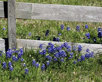 Bluebonnets in a farmer's field at FM 304 and 171 going north from 290. Photo taken 3/19/09 before noon. (butterhummer | chron.commons)