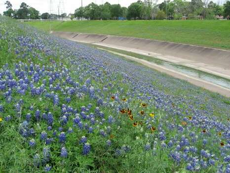 The wildflowers that line the banks of White Oak Bayou and other bayous aren't just there for aesthetics. Wildflowers, such as Bluebonnets, Drummond Phlox, Indian Blankets, Indian Paintbrush and Mexican Hats are planted by the Harris County Flood Control District for very practical purposes. Aside from beautifying the local landscape, a carpet of wildflowers can offset the first mowing cycle, saving the District's maintenance dollars for other needed projects and preventing tons of cut organic materials from entering our channels. Wildflowers also provide sustainable landscape and wildlife habitat. So, not only does the public benefit in many ways, but so do the creatures that depend on the local waterways for survival. (HCFCD)