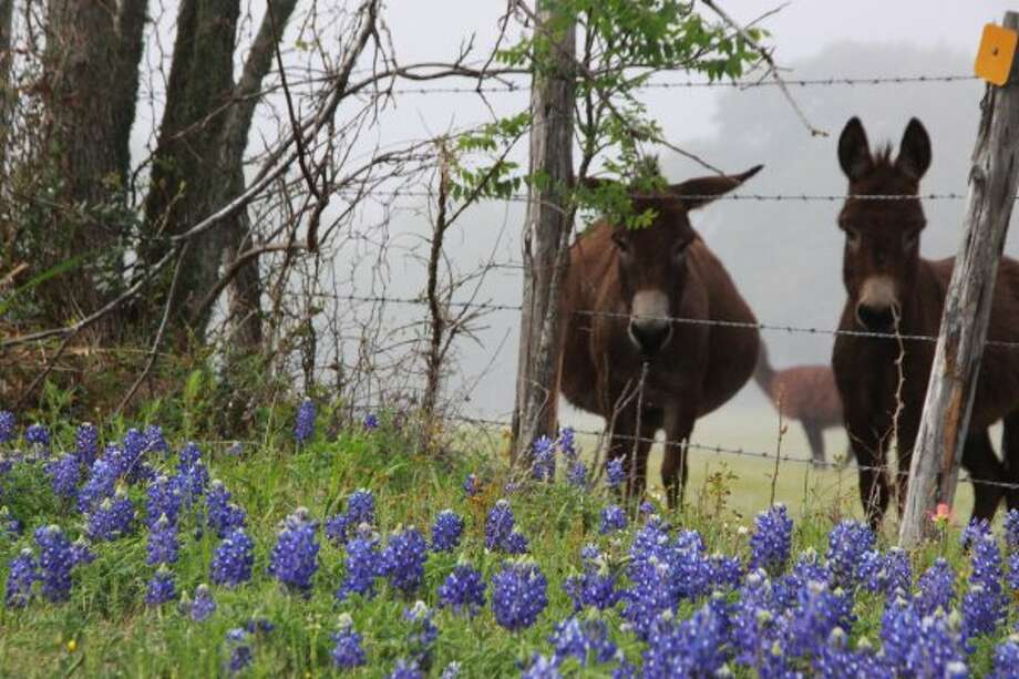 Donkeys in the bluebonnets at a fence in the fog at Chappell Hill in March 2009 (chron.commons)