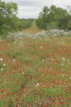 An ocean of wildflowers - Indian blanket, prickly poppy and vervain - floods a South Texas sendero this past weekend. Spring turkey hunters, who have seen back-to-back wildflower-poor years caused by persistent drought, are enjoying the explosion of vegetation triggered by this year's wet conditions. (Houston Chronicle)