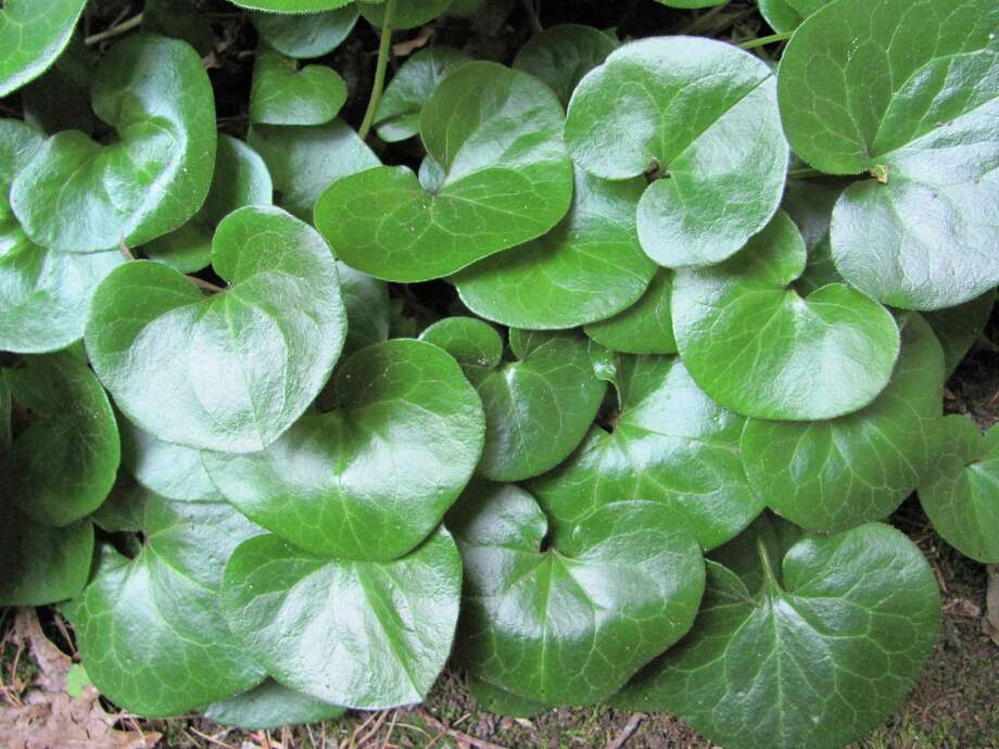 European ginger is a lovely ground cover that does well in dry shade. Photo: Contributed Photo