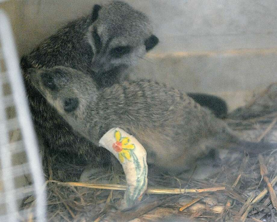 In an April 4, 2012 photo, a young meerkat sports a soft cast on his broken leg at the Erie Zoo in Erie, Pa.   (AP Photo/Erie Times-News, Greg Wohlford) TV OUT, MAGS OUT, COMMERCIAL INTERNET OUT Photo: Greg Wohlford, Associated Press
