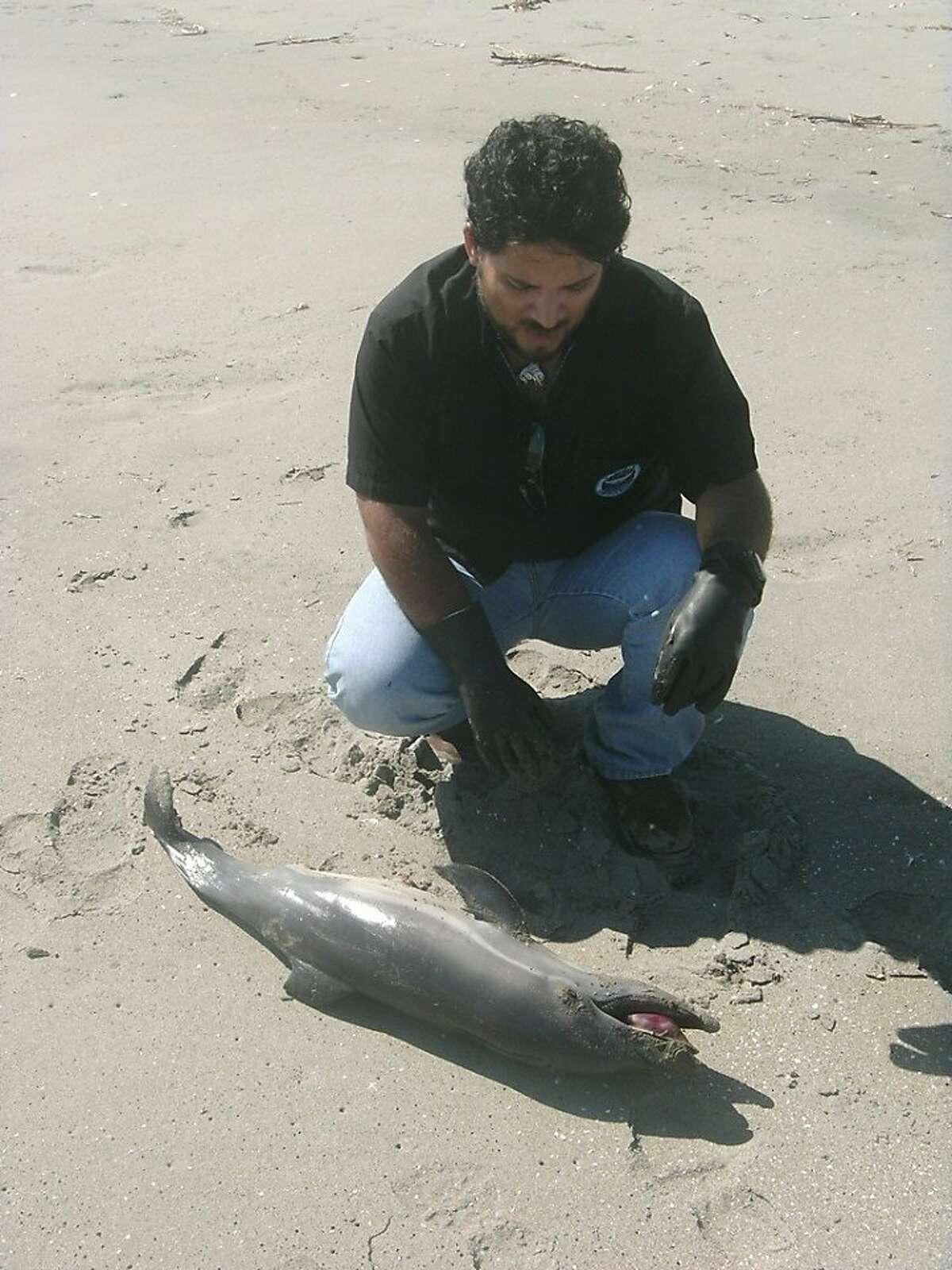 A handout photo shows Peruvian veterinarian Carlos YaipŽn encountering a dying dolphin along Peru's northern coast.