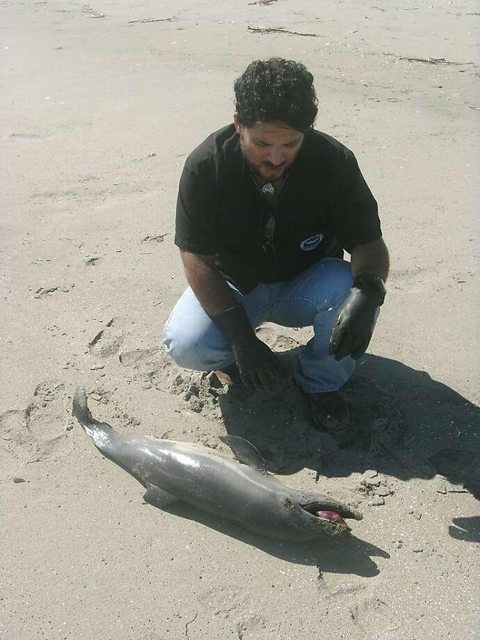 A handout photo shows Peruvian veterinarian Carlos YaipŽn encountering a dying dolphin along Peru's northern coast. Photo: Courtesy Of Carlos Yaipen
