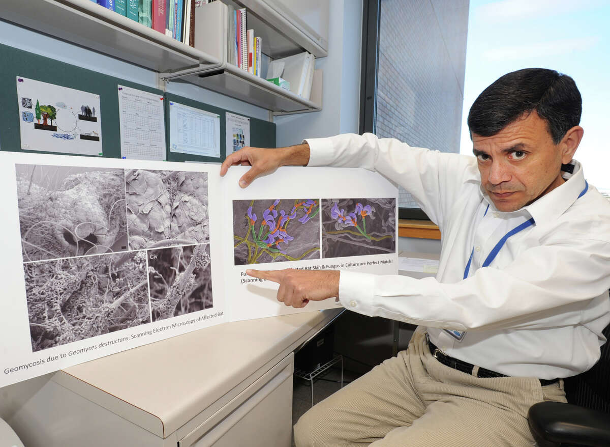 Vishnu Chaturvedi shows charts of a bat with White Nose Syndrome and close ups of the fungus Geomyces destructans in his office at Wadsworth Lab NYS Health Department on April 6, 2012 in Albany, N.Y. His work just won a major research grant from the U.S. Fish and Wildlife Service, which has is looking for ways to fight White Nose Syndrome, which has killed millions of bats so far and is threatening to render some bats regionally extinct.( Lori Van Buren / Times Union)