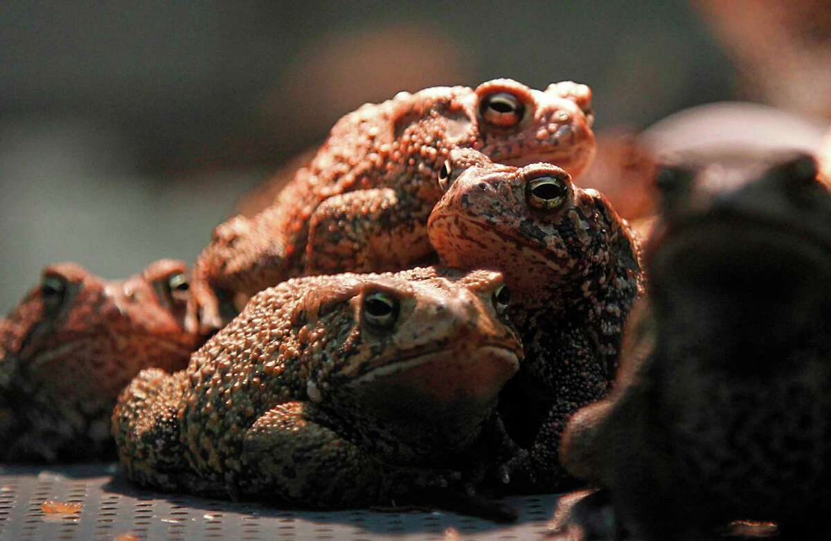 The Houston Toad Conservation Quarantine Facility at the Houston Zoo is one of the last sanctuaries in the city for the amphibian with which it shares a name. Houston toads vanished from the area in the 1960s.