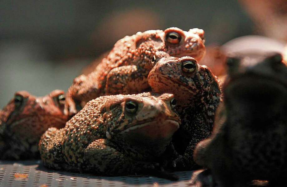 The Houston Toad Conservation Quarantine Facility at the Houston Zoo is one of the last sanctuaries in the city for the amphibian with which it shares a name. Houston toads vanished from the area in the 1960s. Photo: Mayra Beltran / © 2012 Houston Chronicle