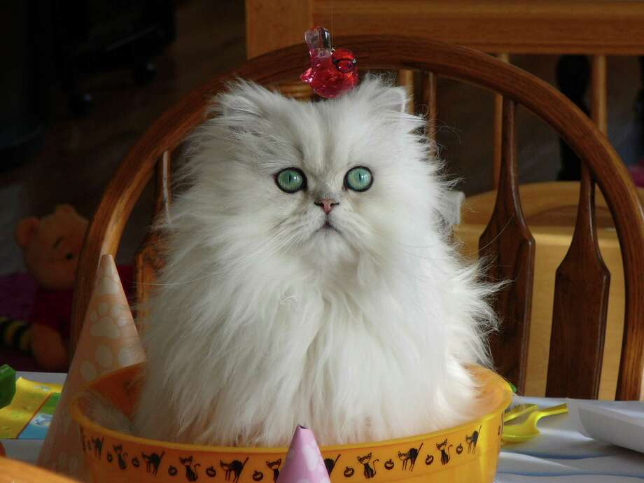 Kim Goodfriend Rayna sits in her bucket waiting for her birthday party to start in East Greenbush. She is a silver -shaded Persian celebrating her fourth birthday.