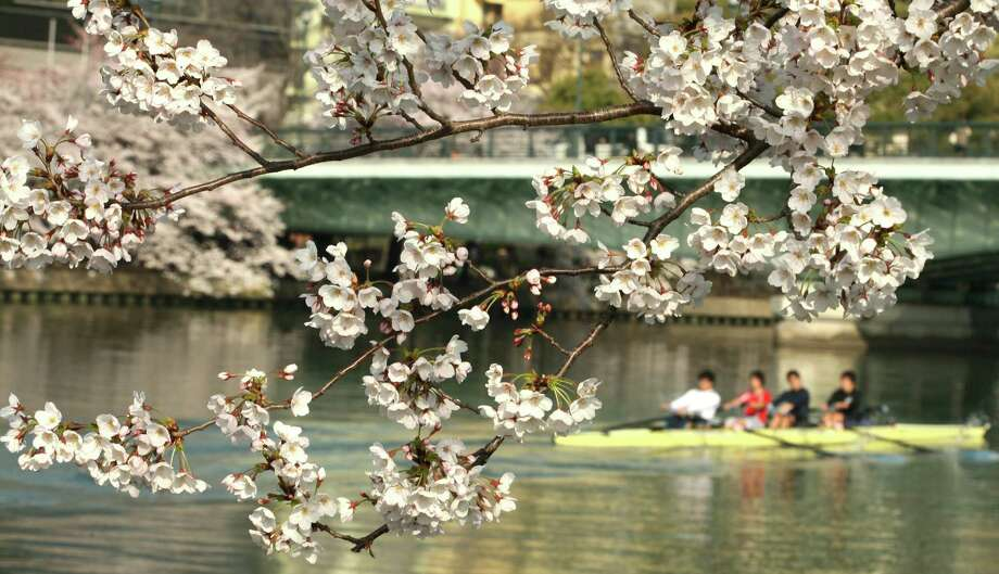 People row a boat past cherry blossoms at Sakuranomiya Park on April 9, 2012 in Osaka, Japan. Photo: Buddhika Weerasinghe, Getty Images / 2012 Getty Images