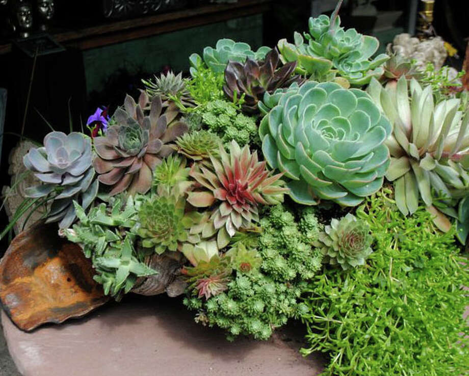 A succulent garden in stone container made by Amabel Chan. Photo: Contributed Photo