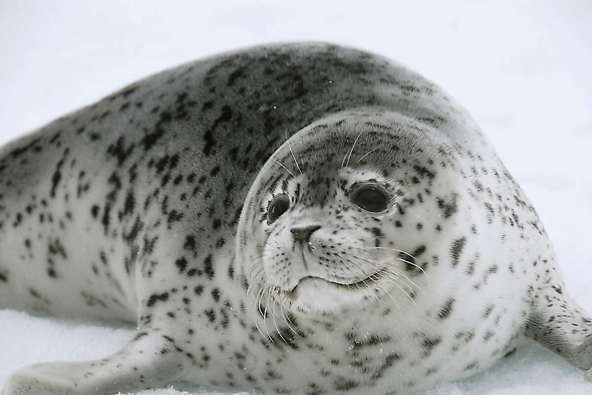 In this May 18, 2007 photo provided by NOAA, a spotted seal rests on sea ice in the Bering Sea. Scientists from Russia and the United States will use high resolution photography and thermal sensors in an ambitious project to count iceseals in the Bering Sea, which the National Oceanic and Atmospheric Administration has recommended for listing as a threatened species due to climate warming. (AP Photo/NOAA, John K. Jansen)
