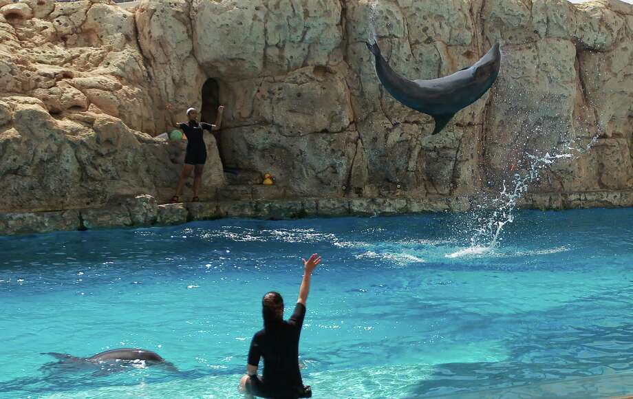 An Atlantic bottlenosed dolphin does a flip as trainers show what the dolphins have learned at the Dolphin Bay Arena at the Texas State Aquarium in Corpus Christi.  Photo: Nick De La Torre / © 2012  Houston Chronicle